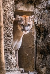DSC07660 (montusurf) Tags: puma mountain lion cougar feline cat predator door fort worth zoo texas frame protrait