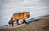 DSC_6561s (savillent) Tags: inuvik tuktoyaktuk all weather highway ith spring animals wildlife red fox snow april 2018