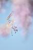紫色開跑 (Sophie-Lin) Tags: 紫藤 wisteria flower macro