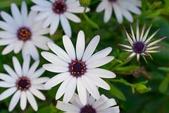 La margarita dijo sí (CrisGlezForte) Tags: flores margaritas blancas primavera