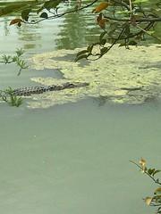 Casual swim (LarryJay99 ) Tags: alligators gators critters danger smallwater hammock predator palmbeachcounty florida westpalmbeach urbanwildlife