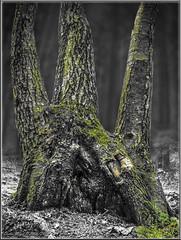 Trinität (Dieter Meyer) Tags: neuscharfeneck pfälzerwald pfalz südpfalz rheinlandpfalz deutschland germany trinität dreieinigkeit sw colorspot wald baum tree forest