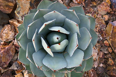 Desert Mandala (jubalia5) Tags: agave cactus desert tucson daylight outdoors nature blossom burst sharp plant