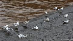 Gulls on the weir (ExeDave) Tags: p1120200 herring gull larus argentatus argenteus sspargenteus millerscrossing river exe exeter floodrelief channel weir devon sw england wild bird seabird gulls nature wildlife city urban adult immature standing march 2018