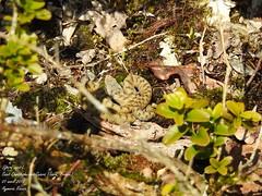 Vipera aspis L. (Aymeric_Roccia) Tags: animal reptile serpent vipera aspis vipère aspic
