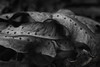 Fern Spores (Beth Reynolds) Tags: fern spores plants decay crunchy natureal nature forest curl leaf macro blackandwhite old layers outside close