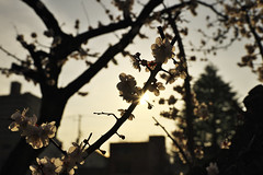 Cherry blossoms blooming at dusk._A9_8284 (nabe121) Tags: sony α9 ilce9 fe emount sonyalpha sigma 24mm70mm f28 dg os hsm art a017 samount silkypixdeveloperstudiopro8 mc11 cherry blossom 桜 さくら サクラ dusk
