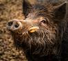 BOAR (Sandy Hill :-)) Tags: boar pigs feralboars pigsofhawaii pigsofkauai sandyhillphotography