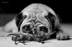 Evolução? (rauly 1974) Tags: surrealismo surrealism surreal wallpaper animais dinossauros animal dinossaur luta fight briga olhos cão dog cachorro pug tiranossauro