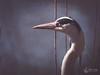 Héron cendré (Olympus Passion eric leroy) Tags: camargue héron oiseaux bird wwwolympuspassionfr olympus omd em1 mkii zuiko 300f4 300 mm 600mm mc14