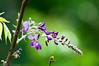 _DSC1903 (Yiing Juii) Tags: 2018 wisteria 紫藤