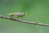 belliqueux .... (francois031) Tags: verdierdeurope carduelischloris europeangreenfinch passériformes fringillidés