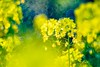 Canola flower / 菜の花 (Hideo N) Tags: fujifilmxt1 trioplan canolaflower 菜の花 yellow flower nature fantasticflower