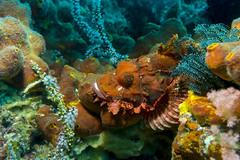 Scorpaenopsis papuensis (atardecer2018) Tags: diving filippines underwater fish scubadiving