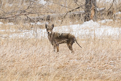 March 19, 2018 - A mangy coyote