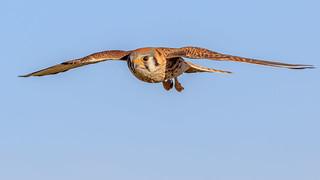American Kestrel Hen