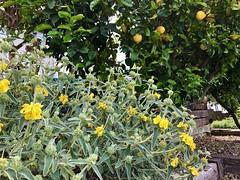 fullsizeoutput_82d5 (lnewman333) Tags: losangeles ca usa highlandpark nela northeastlosangeles socal southerncalifornia lemons citrus tree lemontree sage jerusalemsage fruit