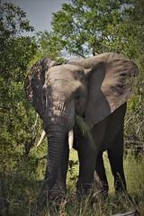 Exceptional ears (Rudi Verspoor) Tags: elephant telephoto animal kruger nationalpark national protected species tusks ears southafrica park trunk grey bush nikon dslr 55300