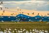 DSC09499 (www.mikereidphotography.com) Tags: skagit snowgeese zeiss birds