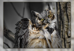 Great Horned Owl / Grand-duc d'Amérique / Bubo virginianus (FRITSCHI PHOTOGRAPHY) Tags: greathornedowl grandducdamérique bubovirginianus domainedesmaizerets québec m2