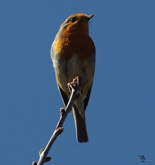 robin 2 (Simon Dell Photography) Tags: robin red breast bird shirebrook valley sheffield nature wildlife birds animals spring views sights reserve s12 simon dell photography photos