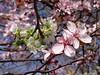 Baumblüte (Gertrud K.) Tags: flowers white pink rosaceae huaweimate9 prunus macro