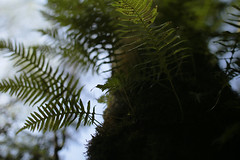 Canemah Bluff (Tony Pulokas) Tags: spring oregon bokeh blur leaf forest oregoncity canemahbluffnaturepark tree maple tilt canemahbluff bigleafmaple fern licoricefern moss