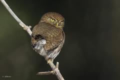 Northern Pygmy-Owl / Chevêchette naine (shimmer5641) Tags: glaucidiumgnoma northernpygmyowl chevêchettenaine pygmyowl birdofprey raptor birdsofnorthamerica birdofwesternnorthamerica britishcolumbiacanada