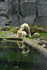 Nanook (Michael Döring) Tags: gelsenkirchen bismarck zoomerlebniswelt zoo eisbär iuvenil nanook pressekonferenz pk afs105mm14e d800 michaeldöring