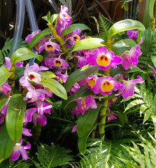 20180324_125025 (jaglazier) Tags: 2018 32418 botanicalgardens bronx copyright2018jamesaferguson dendrobium greenhouses happiness march newcentury newyork newyorkbotanicalgarden newyorkcity orange orchidshow orchidaceae public red usa flowers gardens orchids parks plants purple bronxcounty unitedstates