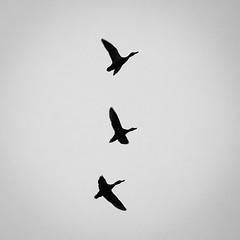 Утки / Ducks (Yuri Balanov) Tags: animal nature flight duck monochrome bw bwphoto blackandwhite black white contrast pentax pentaxk5iis russia