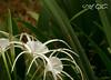 Spider Lily (A. K. Hombre) Tags: spiderlily hymenocallisspeciosa flowers flora flores fleur plant blossoms blooms white amaryllidaceae dof depthoffield macro canon powershotsx530hs