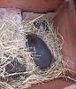 Hogs in the box (Mic, returning...) Tags: hedgehogs prickles mammals sleeping daytime hay snugasabuginarug
