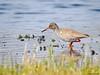 Common Redshank (Corine Bliek) Tags: bird birds vogel vogels nature natuur wildlife wetlands waders weidevogels scolopacidae steltlopers tringatotanus voorjaar spring