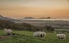 <end> (JDWCurtis) Tags: sheep farm farmanimals farmanimal field fields wormshead wales southwales cyrmu visitwales gower bbcwalesnature bbcnaturewales bbcwales