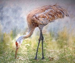 Grazin' In The Grass (Wes Iversen) Tags: antigonecanadensis brighton gruscanadensis kensingtonmetropark michigan milford sandhillcrane tamron150600mm birds painterly texture wildlife