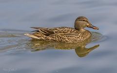 Gadwall (Selkii's Photos) Tags: anasstrepera birds california duck elliscreekponds gadwall petaluma