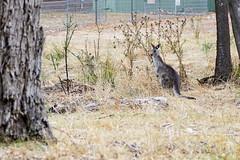 (getawaywjas) Tags: kangaroo nature australia grampians
