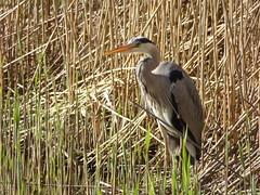 Heron (LouisaHocking) Tags: heron cardiff forest farm british bird nature wild wildlife