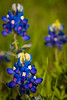 Shooting blue bonnets in a wind storm ? (b.campbell65) Tags: background beautiful beauty bed bloom bouquet bright color colorful colour colourful field fields flora floral flower foliage garden grass green group head many meadow natural nature outdoors park petal petalbloom plant season seasonal spring sunny vibrant white