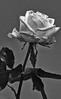 Rose BW (efgepe) Tags: 2018 april lightroom rose bw sw schwarzweiss schwarzundweiss blackwhite black white nik silverefexpro pentax makro macro pentaxk1 200mm