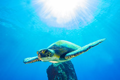 turtle5Mar28-18 (divindk) Tags: cheloniamydas hawaii hawaiianislands honu malaramp maui underwater diverdoug endangeredspecies greenseaturtle marine ocean reef sea seaturtle turtle underwaterphotography