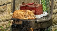 Beautiful Ginger Farm cat,Lancashire. (TinaEntwistlePhotography) Tags: churchkirkfatmcats photoart panasonic hdr lancashire lumix leica england english rural countryside feral fz200 cat ginger uk
