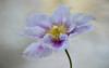 happiness is... (S.A.photos) Tags: blossom bloom nikond3200 nature macro beauty bokeh depthoffield art wow texture exposure petals fleur flower pastel purple spring springtime morning colours 50mm