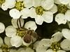 Famille Thomisidae - Mecaphesa sp. (Répertoire des insectes du Québec) Tags: arachnide araignée arachnida macro quebec spider