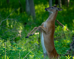 BuckUp (jmishefske) Tags: 2018 d850 buck nature center whitnall milwaukee franklin antler june whitetail wildlife rack wisconsin velvet up park wehr standing deer nikon