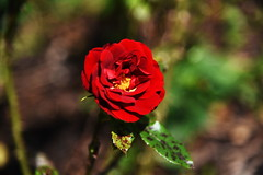 DSC_0263 (PeaTJay) Tags: nikond750 reading lowerearley berkshire macro micro closeups gardens outdoors nature flora fauna plants flowers rose roses rosebuds