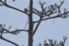 IMG_1281 (armadil) Tags: sanfrancisco sanfranciscobotanicalgarden sfbotanicalgarden bird birds woodpecker woodpeckers motherhood spring downywoodpecker downywoodpeckers agave