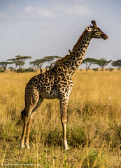 2017.06.23.3118 Giraffe (Brunswick Forge) Tags: 2017 safari grouped africa tanzania serengeti nature wildlife favorited