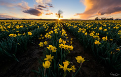 The Lone Tree (Hilton Chen) Tags: daffodils mountvernon leadinglines washington flowers colorfulsky skagitvalley sunstar sunset spring lonetree landscape unitedstates us